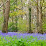 Bluebell woods at Swyre Head in Dorset
